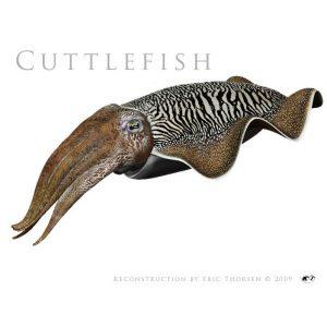 Cuttlefish-1-white