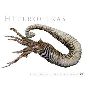 Heteroceras-1-white